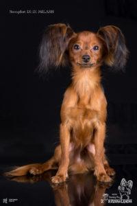 fotografia zwierząt, sesja zwierząt, zdjęcie psa, Toy rosyjski, zdjęcie na plexi, fotograf zwierzęcy, fotografia zwierząt Szczecin, fotograf zwierząt Szczecin